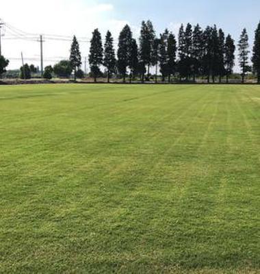 黑麦草草坪图片/黑麦草草坪样板图 (3)