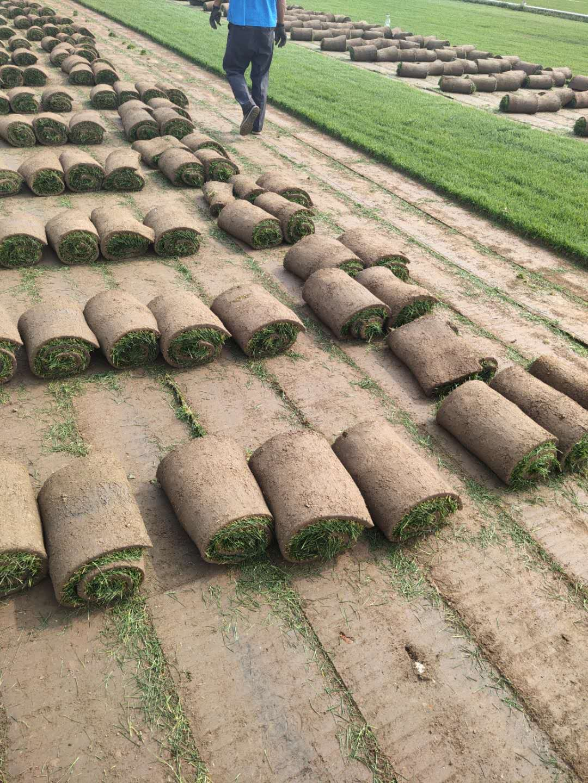石家庄早熟禾草坪销售