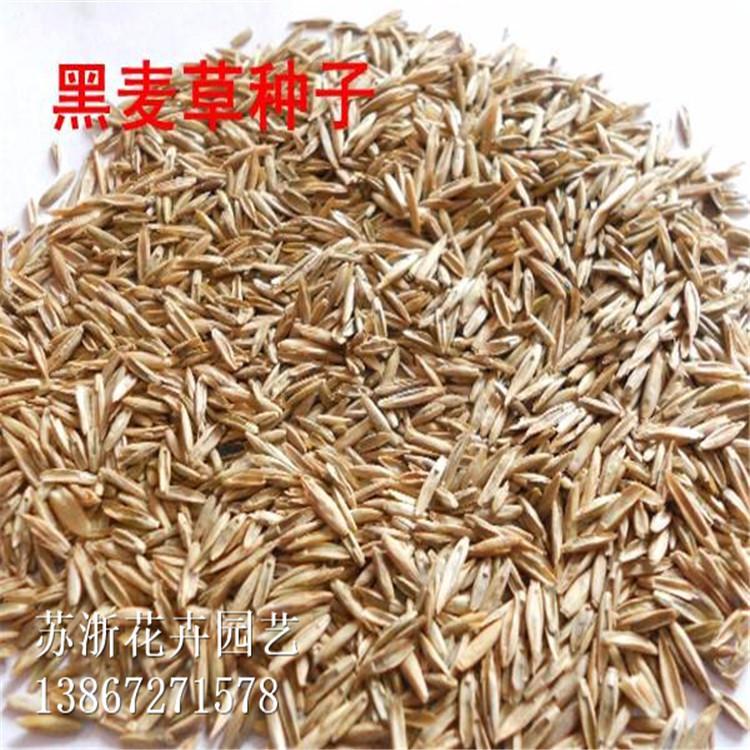 黑麦草种子销售