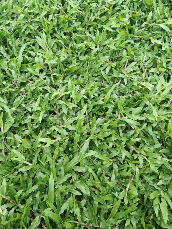 梧州百慕大草坪销售
