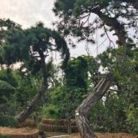 臨沂銀盛亨通園林工程有限公司——供應造型油松、叢生白皮松、小對接白臘